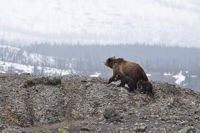 bears-1149459_640