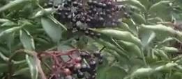 Jedlé plody bezu černého – Video návod
