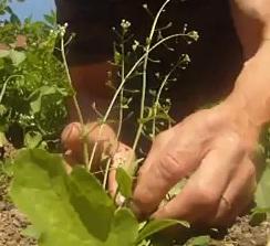 Jedlá bylina Kokoška pastuší tobolka