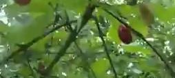 Jedlá rostlina Dřín