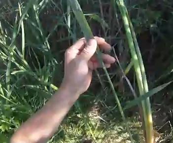 Jedlý kořen rákosu a kořen orobince
