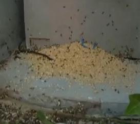 mravenčí larvy