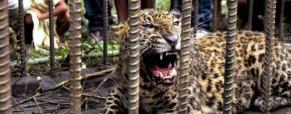 Boj s levhartem v Indii