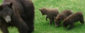 Medvědi vs auta 2