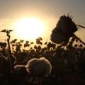 cotton-1804669_640